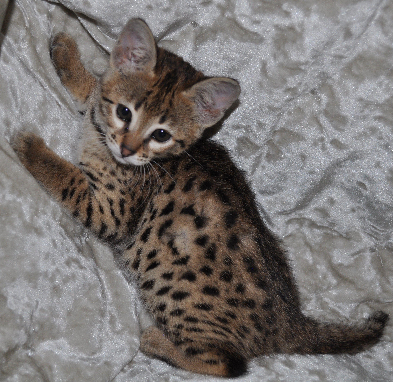 F1 Savannah Kitten for sale F1 Savannah cat for sale f1