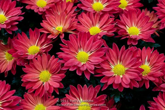 Domingo Pelee Red Yoauburn And Icy Isle Beautiful Single Mums With Images Flower Images Chrysanthemum Flowers