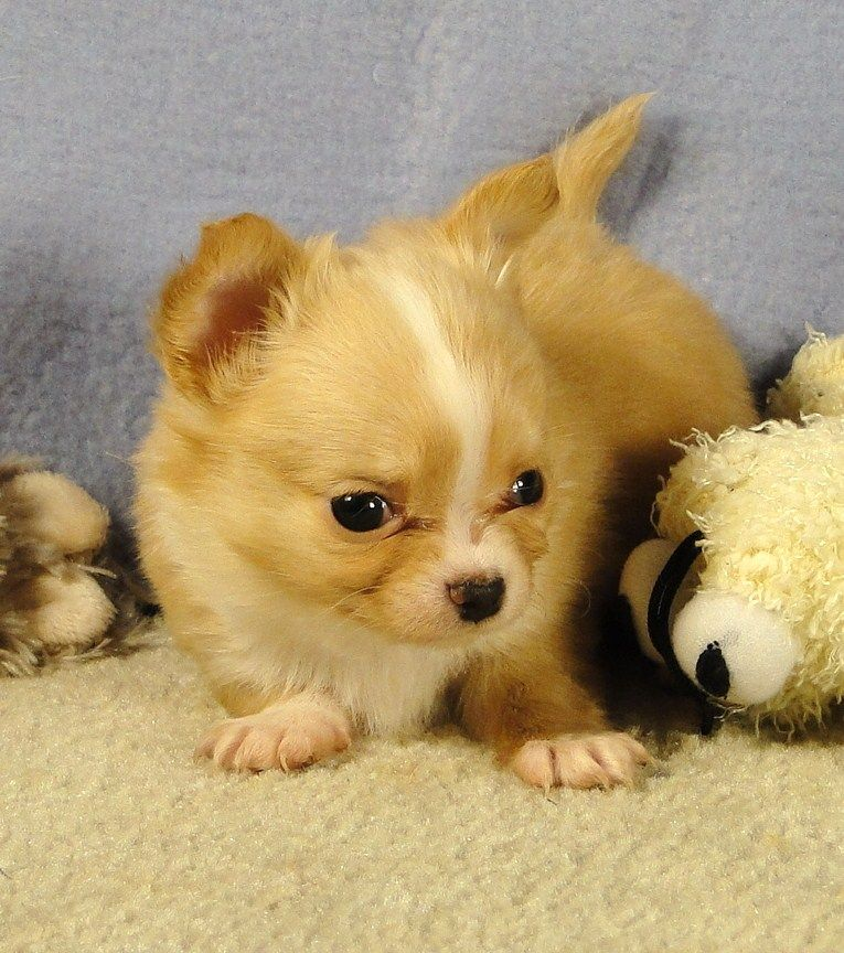 Chi idols home chihuahua puppies for sale puppies cute