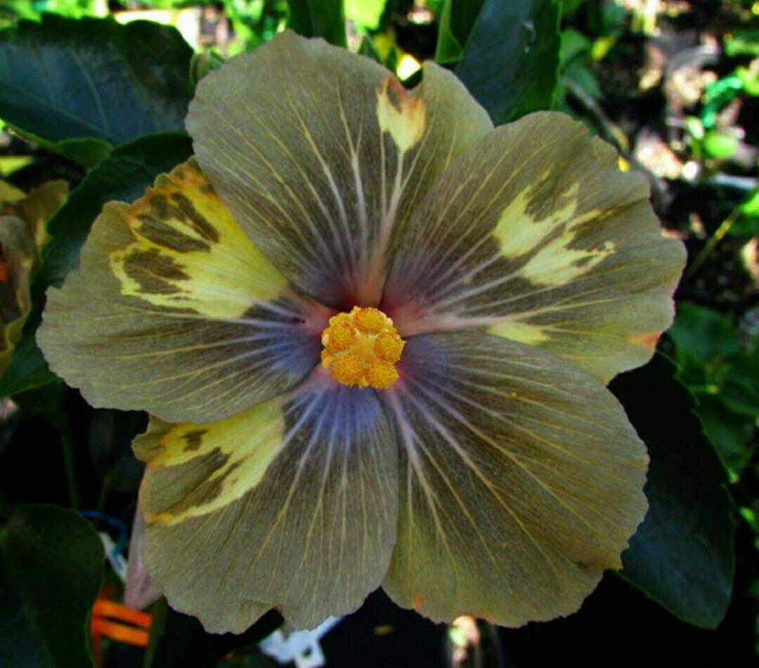 Flowers Hybiscus El hibisco es un género de plantas