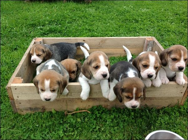 Cute Beagle Puppy Google Search Beagle Puppy Cute Beagles