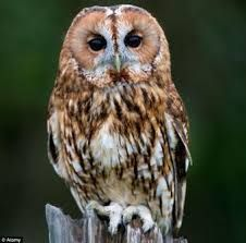 Image result for tawny owl in flight