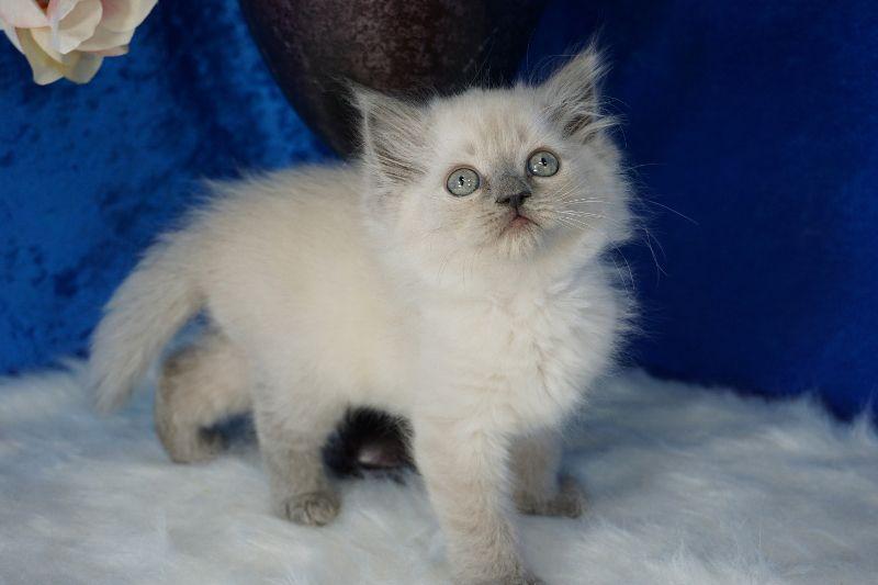 Blue Point Mink Ragdoll Kitten Ragdoll Kitten Cats And Kittens Ragdoll