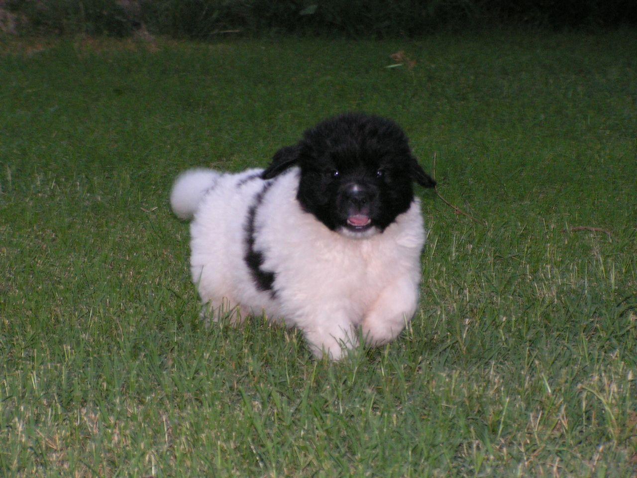 'Morse' at 6weeks - Newfoundland puppy