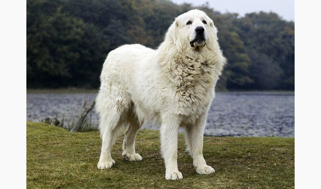 Great Pyrenees Breed Information Great Pyrenees Great Pyrenees