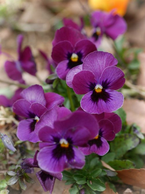 Imgfave Com Pansies Flowers Purple Flowers Garden Purple Flowers