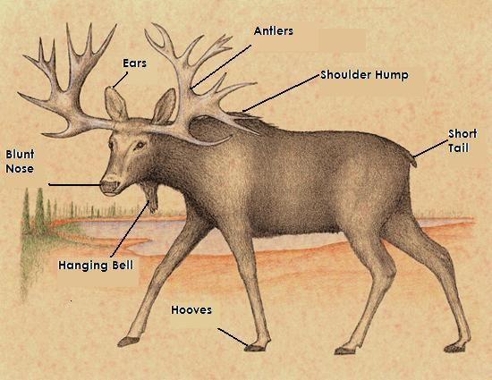 Moose Anatomy Diagram Schematic Wiring Diagrams