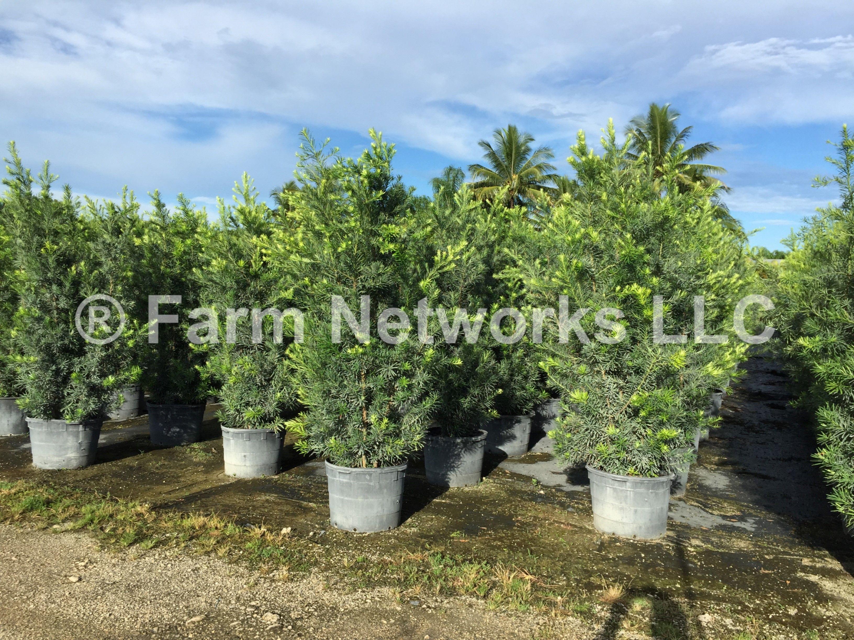 7 gallon podocarpus price  palm beach hedges