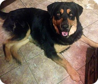 Chandler Az Rottweiler Great Pyrenees Mix Meet Bullet A Dog