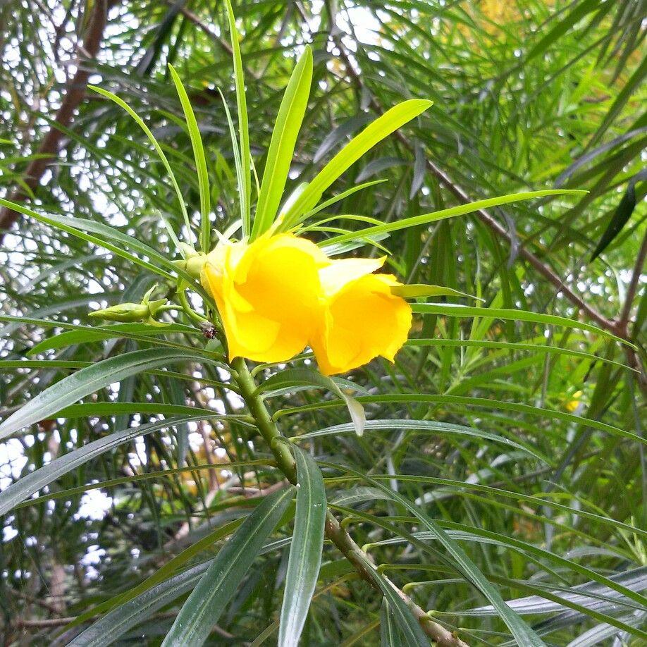 Yellow Oleander Cascabela Thevetia Flowers 1 Pinterest