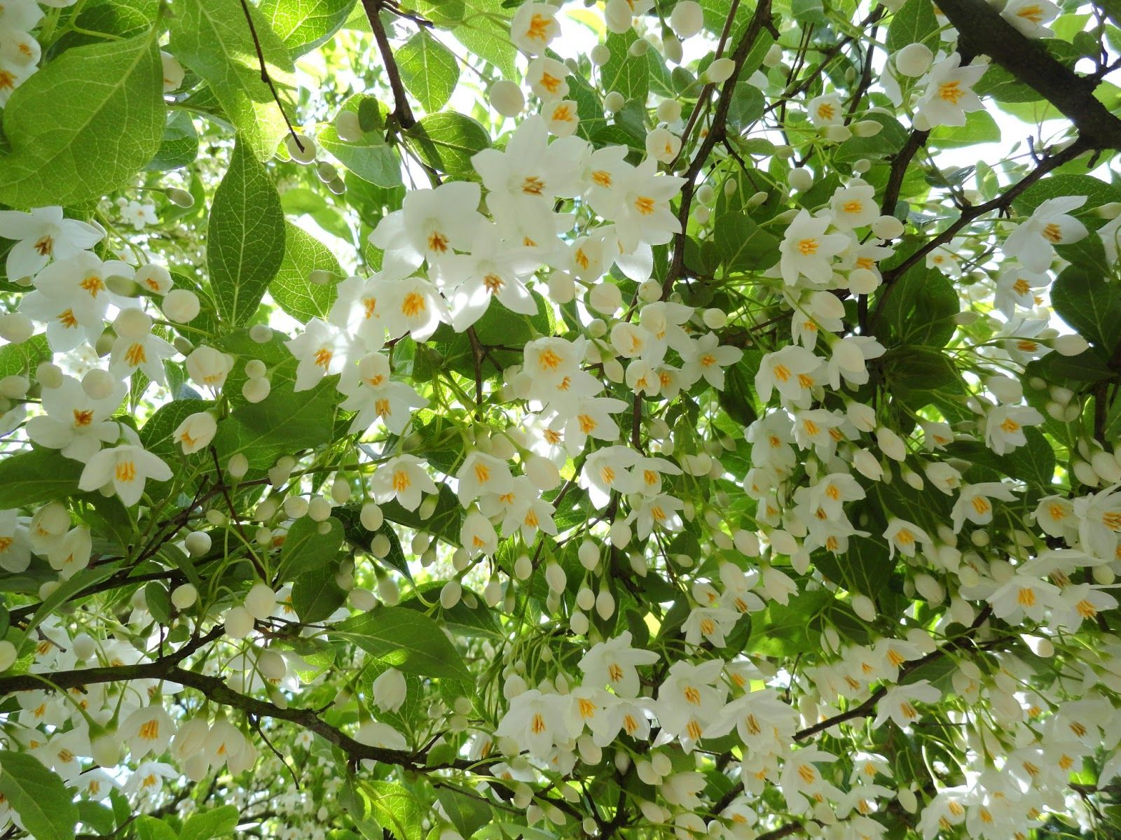 Small Tree Idea Styrax Japonica Japanese Snowbell Blooms Profuse Small White Flowers That Dan Small Trees For Garden Shrubs For Landscaping Ornamental Trees