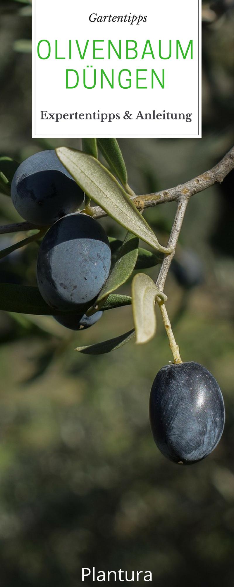 olivenbaum dünger test