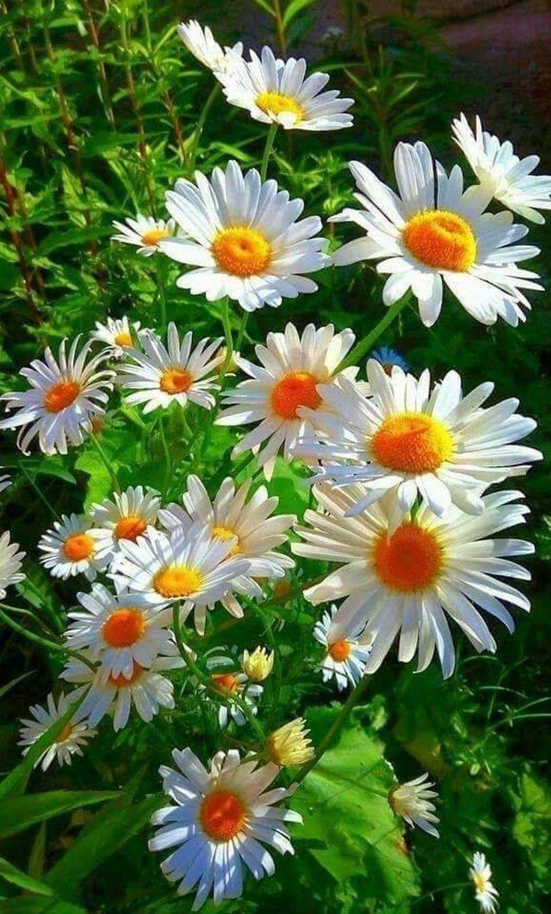 Foto preciosas margaritas flores y plantas flores - Fotos flores preciosas ...