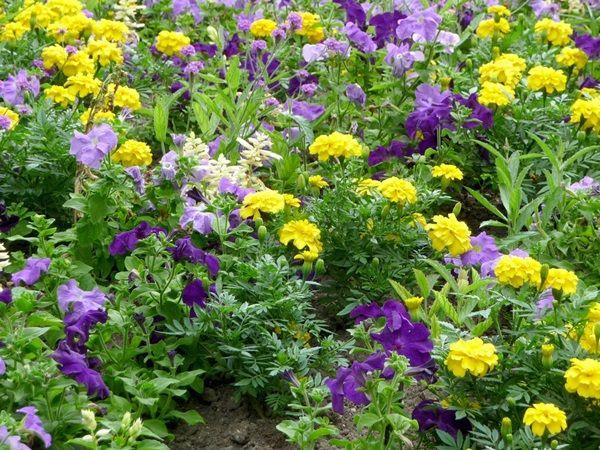 Цветы для клумбы - цветущие все лето, низкорослые ...