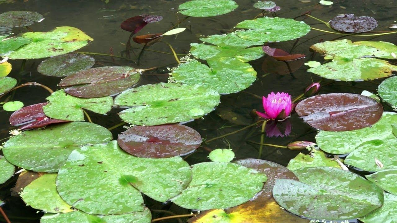 睡蓮には梅雨らしい小雨が似合いますね かごしま健康の森公園にて かごしま 睡蓮 公園