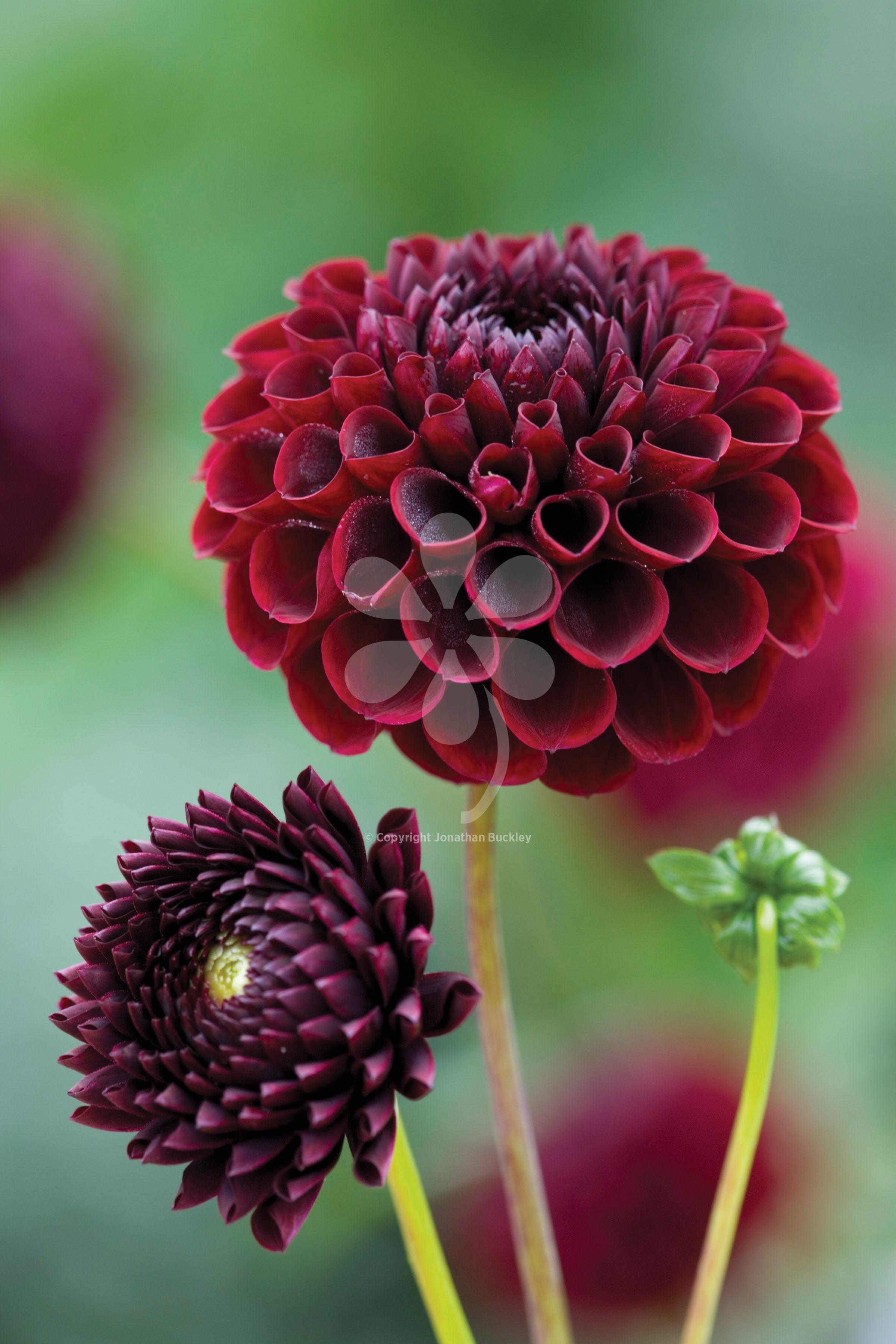 Dahlia jowey mirella cut flowers dahlia and flowers dahlia jowey mirella annual flowerscut reviewsmspy