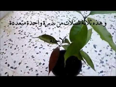 كيف زراعة شجرة المانجو من البذور Youtube Vegetables Eggplant