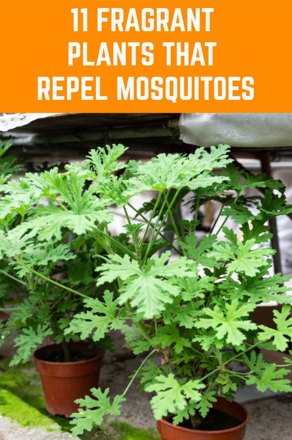 11 Fragrant Plants That Repel Mosquitoes