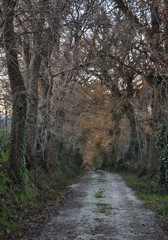Il viale di querce secolari