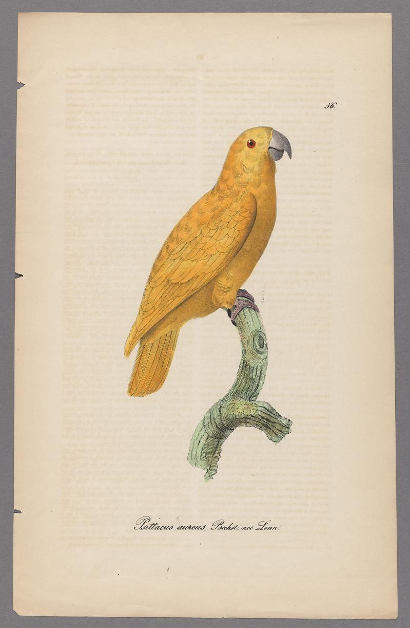 Parrots - Monographie der Papageien oder, Vollstandige ...