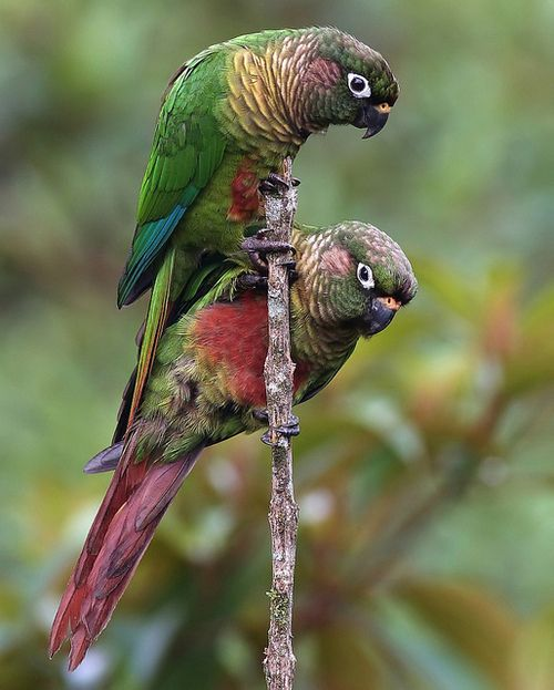 Maroon-bellied Parakeet - SE.Brazil through N.Argentina, including Paraguay, Uruguay  maybe E. tip of Bolivia