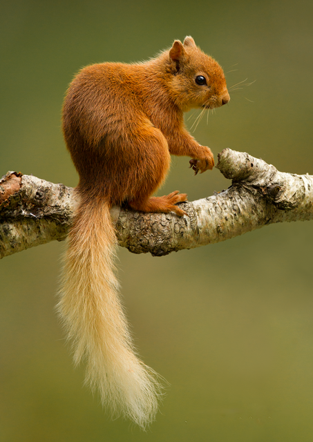 nature-madness:  Red Squirrel In The Scottish Highlands | Mike Dowsett