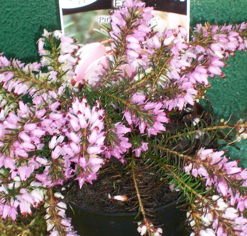 Erica Carnea Pink Spangles Heather In The Uk