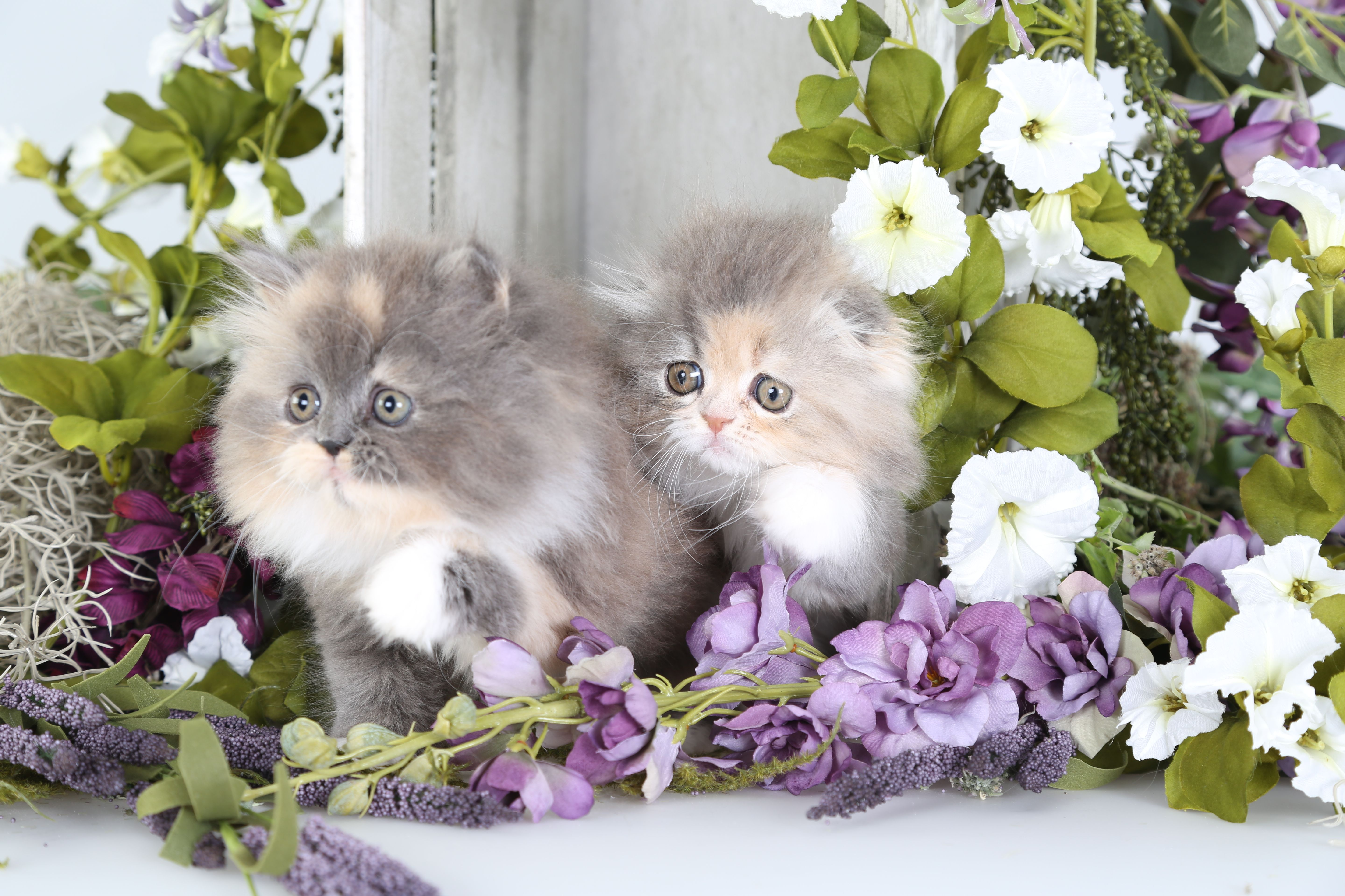 Dilute Calico Persian Kitten & A Dilute Calico Persian