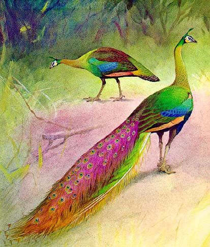 Peacock Pages Pair Of Green Peafowl Birds Peacock