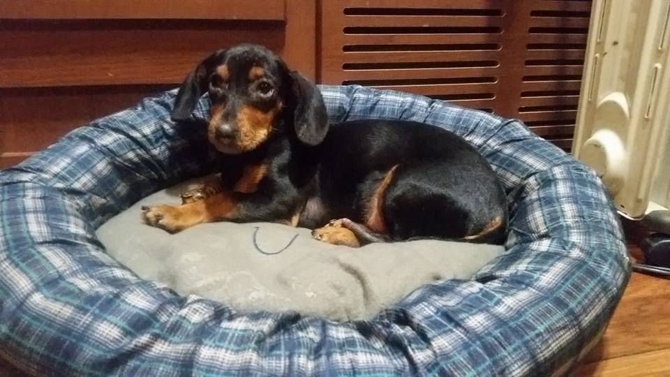 I Got Mutley A New Bed Today Weiner Dog Miniature Dachshunds Dogs