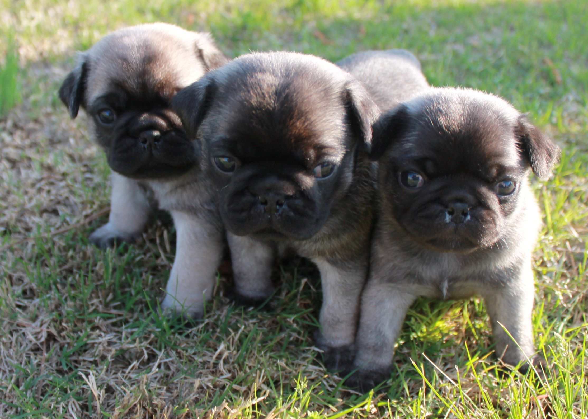 Pugs 3 Week Old Babies Baby Pugs Pug Puppies Pug Love