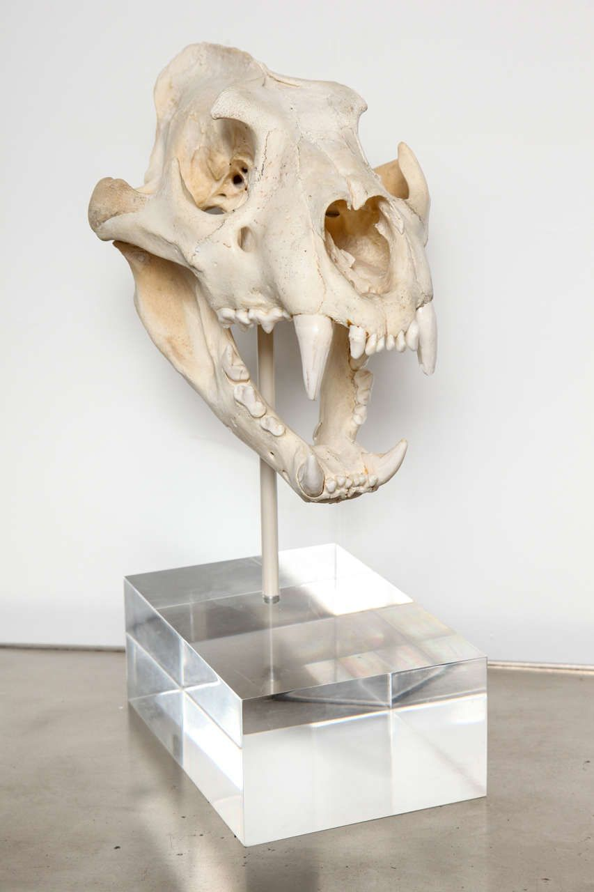 Tiger Skull image 3 | โครงกระดูก | Pinterest | Tigers, Taxidermy and ...