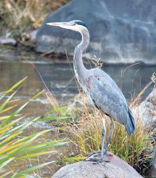 A great blue heron on the banks of the Río Grande. Photo by Geraint Smith, geraintsmith.com