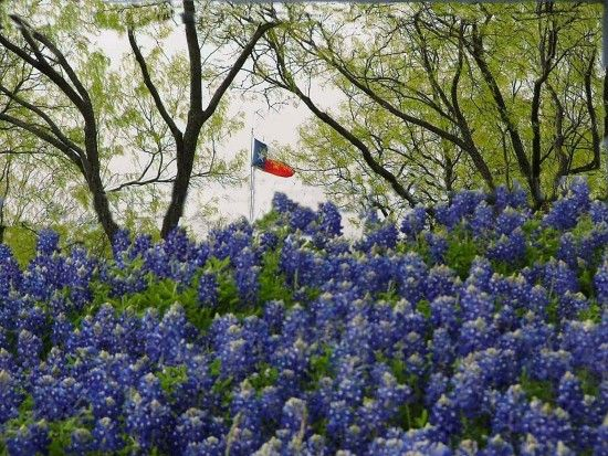 Texas Flag In Mesquites Bluebonnets Rustic Images Blue Bonnets Texas Bluebonnets Republic Of Texas