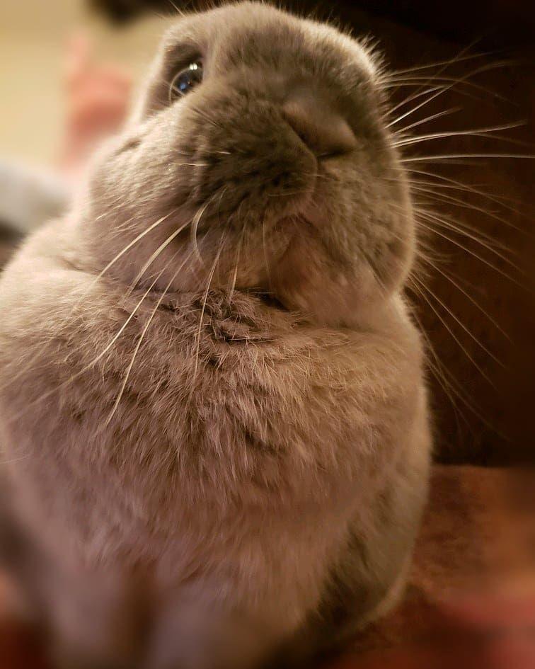 Mocha On A Wool Blanket ウール毛布が似合う Mocha Bunny Rabbit Houserabbit Cagefree Pet Nocturnal Bunnycave Bunnylife Livingwi Instagram Posts Mocha Instagram