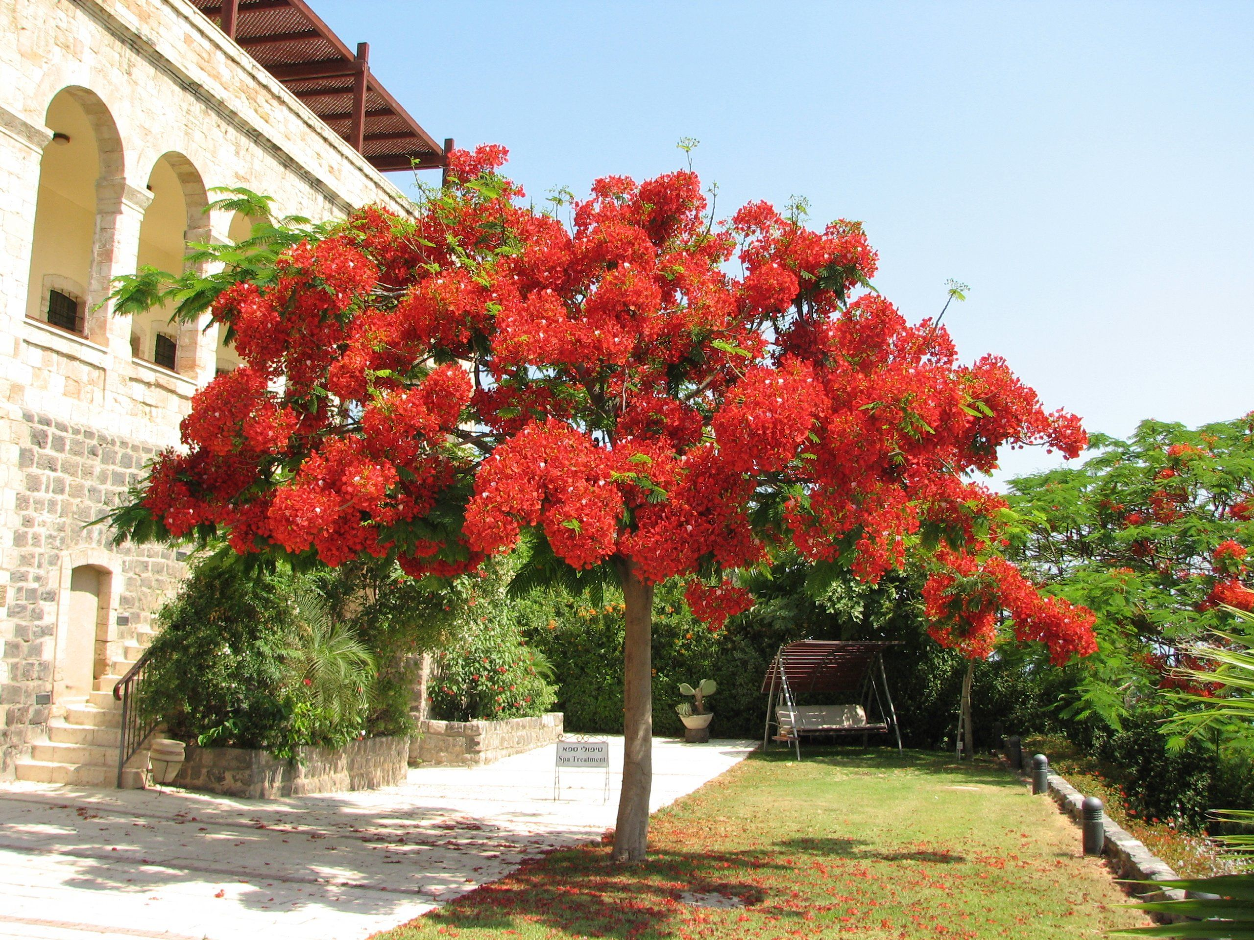 Seeds And Things 10 Seeds Delonix Regia Flamboyant Flame Tree Worlds