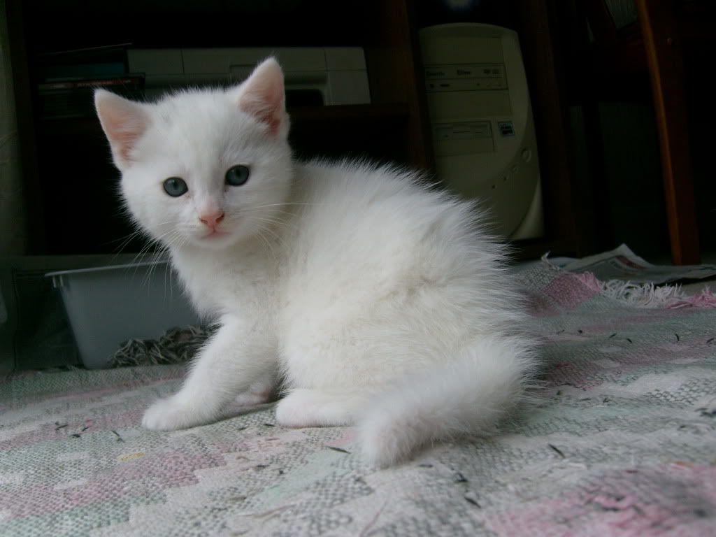 Image result for white kittens Animals that I love