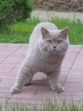 Lilac British Shorthair Binatang Lucu Kucing Binatang