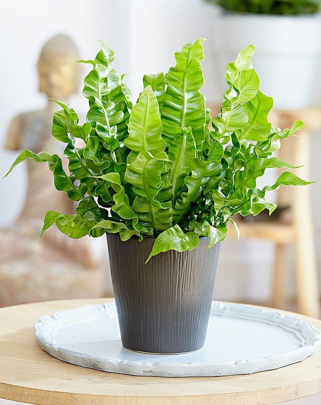 29 most beautiful houseplants you never knew about houseplants bald hairstyles and bird nest fern - Pretty indoor plants ...