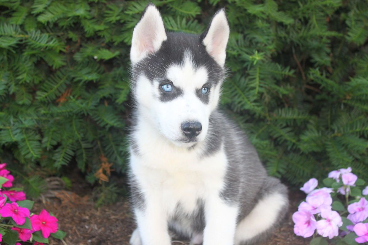 Siberian Husky Puppies For Sale In Kinzers Pa Siberian