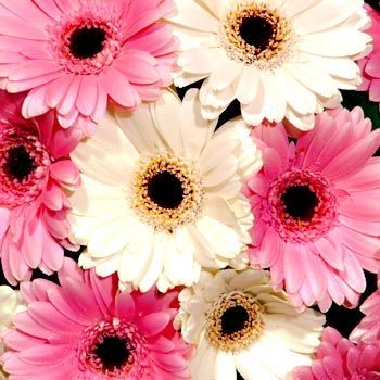 Black Eyed Pink And White Gerberas
