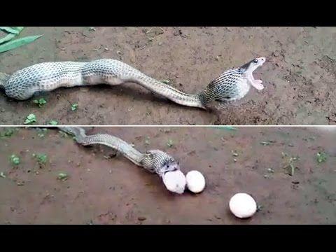 Aneh ular mengeluarkan telur dari mulutnya