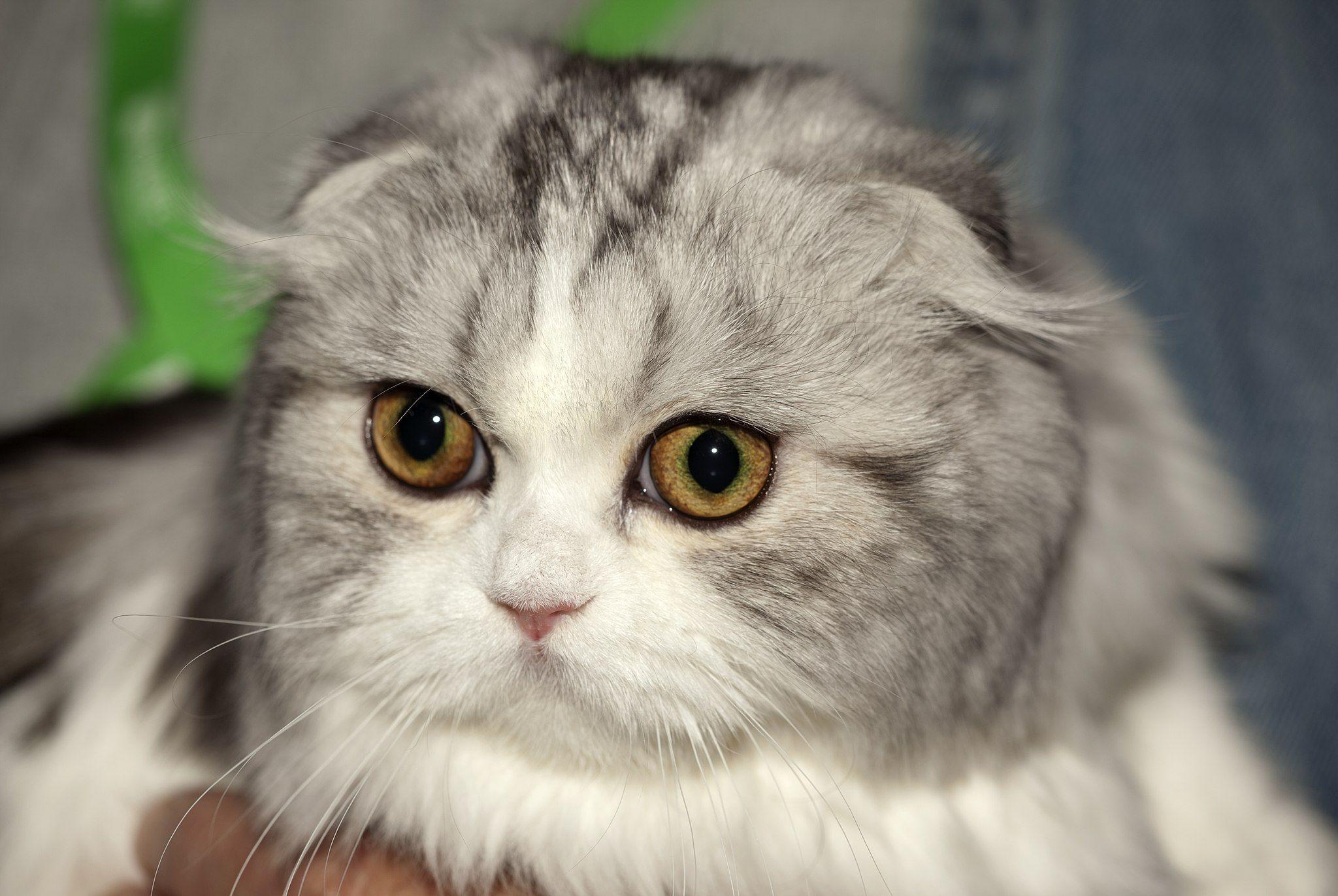 Schottische Faltohrkatze In 2020 Schottische Faltohrkatze Katzen Katzenrassen