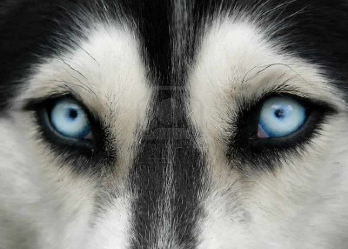 Husky Blue Wolf Eyes Husky Eyes Huskies Dogs Blue Eyes