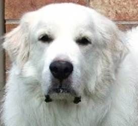 Great Pyrenees Club Of Western Pa Rescue Great Pyrenees Dogs