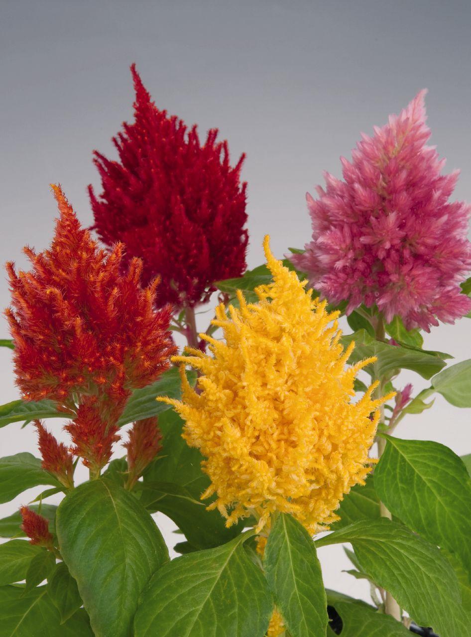 Celosia Plumosa Plant Seedlings Celosia Plant Ornamental Plants
