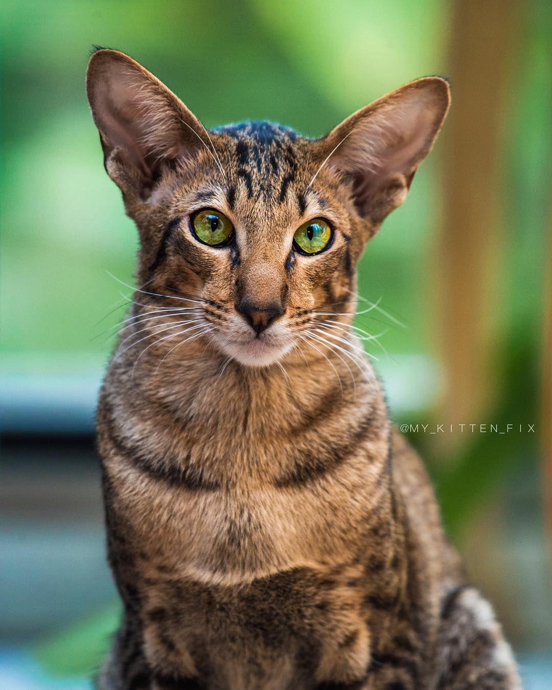 Orbit Orientalshorthair Dog in a cat's body