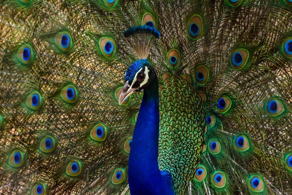 Peacock Portrait Photo by Nitin Chandra — National Geographic Your Shot