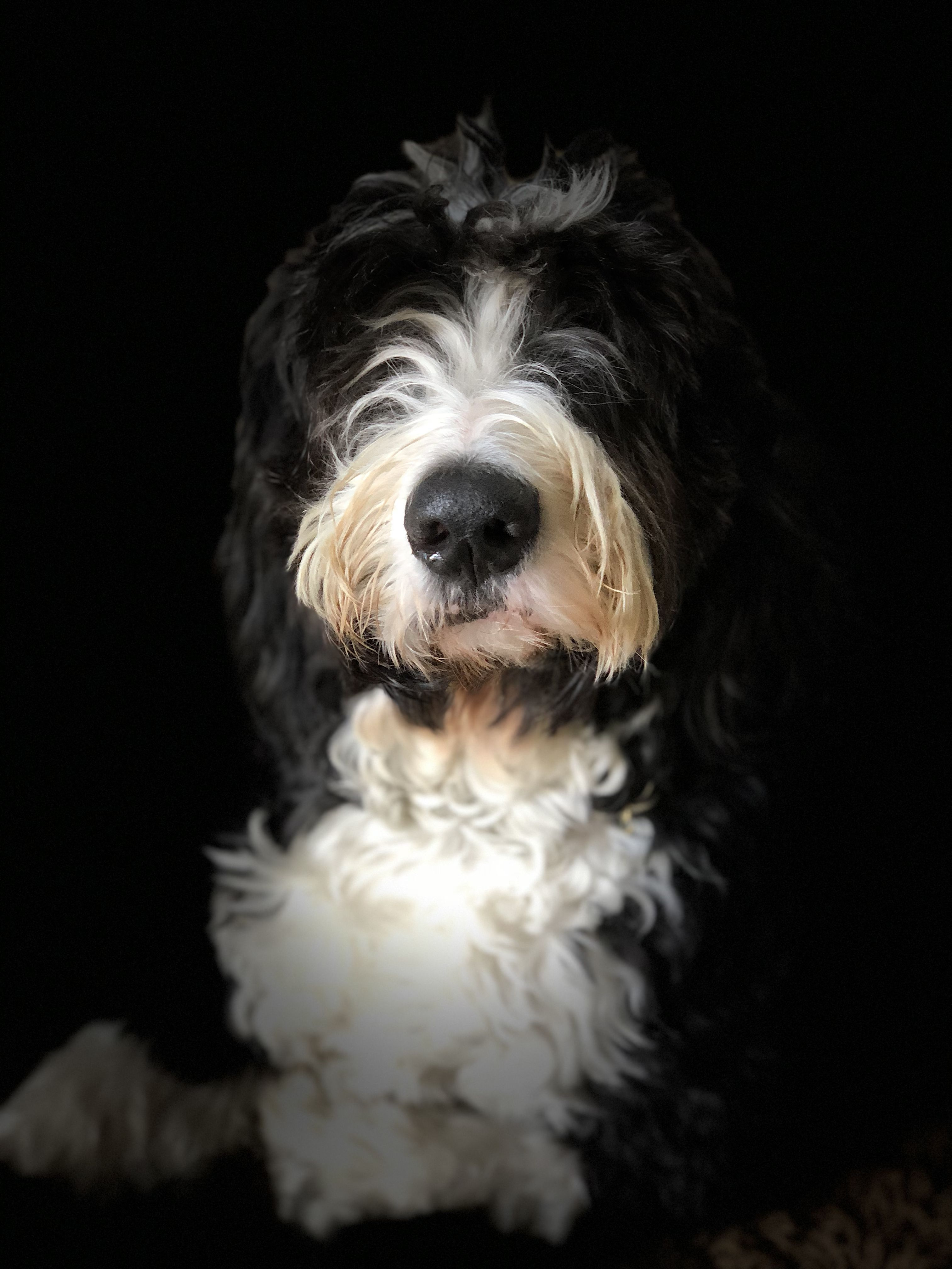 Cooper Our 4 Year Old Bernedoodle Bernedoodle Pup Pets