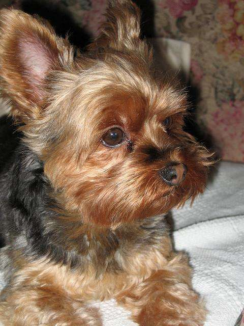 Yorkshire Terrier With Images Yorkshire Terrier Dog Yorkshire
